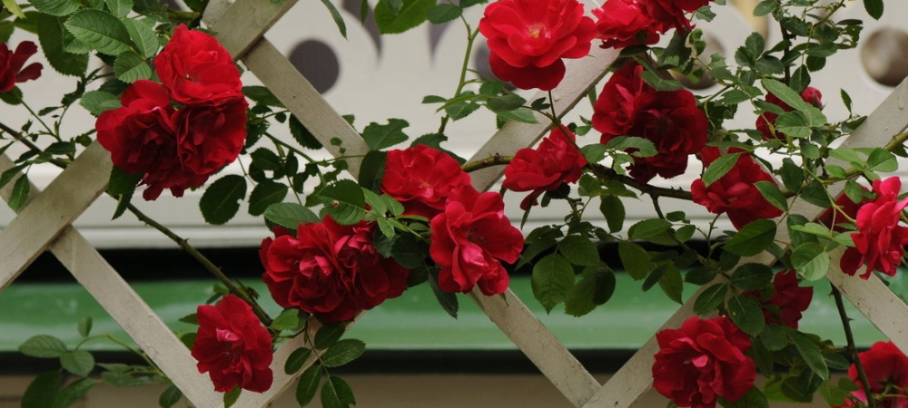 zdrowe róże pnące ze szkółki